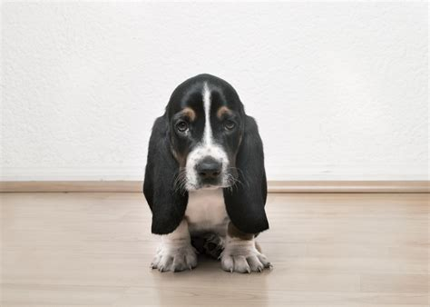 basset hound puppy 10 things only basset hound