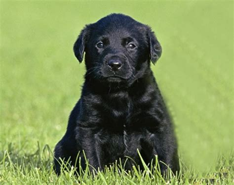 black retriever puppies black labrador retriever puppies foto 2017