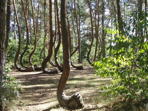 crooked forest poland crooked forest poland tripomatic