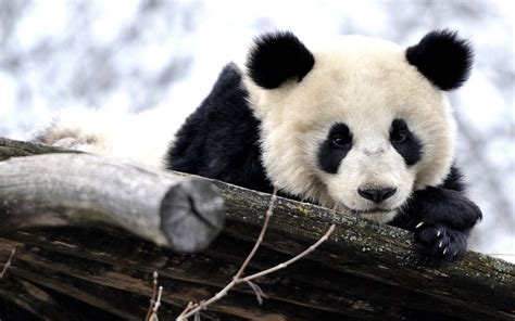 wallpaper hd panda panda background hd desktop wallpapers 4k hd
