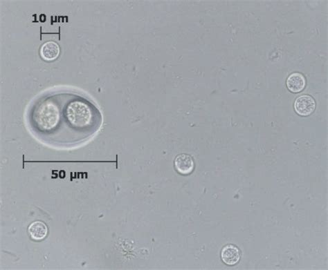 toxoplasmosis in dogs protozoa