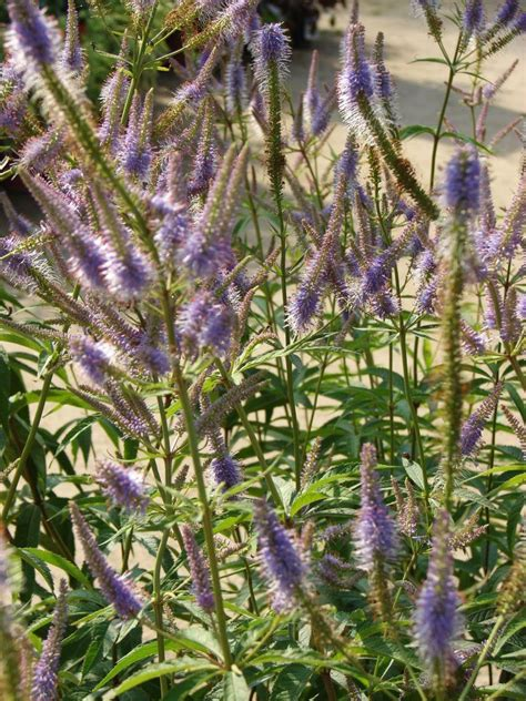 69 best images about veronicastrum on pinterest gardens