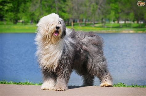 sheep dogs sheepdog breed information buying advice photos and facts pets4homes