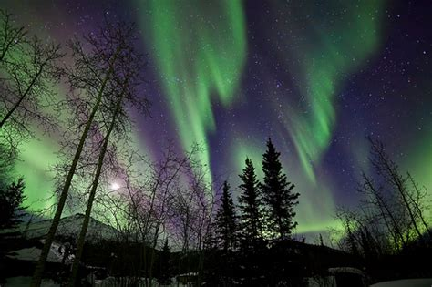 northern lights trees trees with northern lights waves and curtains trees with