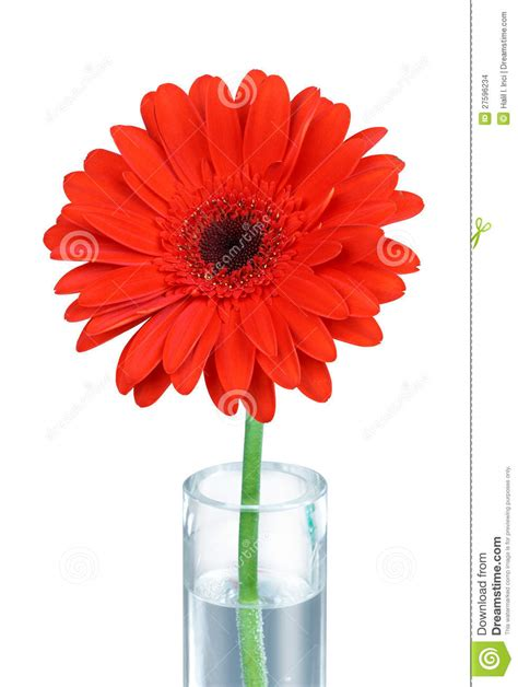Gerbera Vase by Gerbera In Vase Clipping Path Stock Images Image