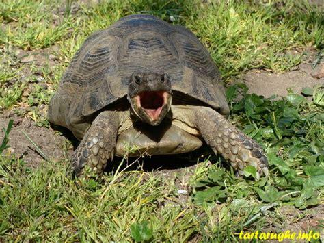 lada per tartarughe di terra tartarughe o testuggini d acqua dolce tartarughe e