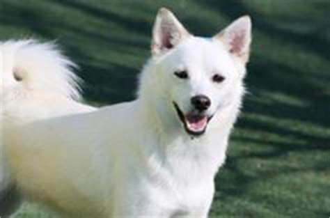 american eskimo pug mix 1000 images about american eskimos different mixes on american eskimo