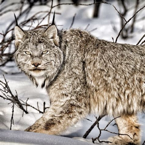 canadian snow lynx 17 best images about endangered big cats on pinterest