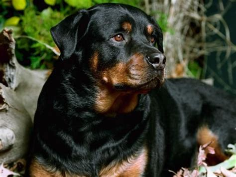rottweiler india rottweiler price in india