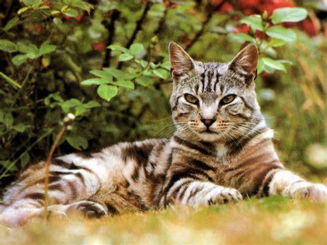 imagenes para fondo de pantalla gatos fondos de escritorio gatos fondos de pantalla animales