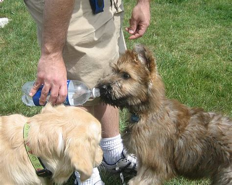 Do Briards Shed by Briard Photo Gallery Pictures Of Briards Picture