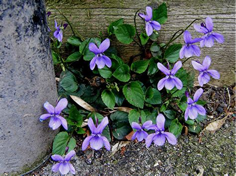 violet puppy early violet viola reichenbachiana naturespot