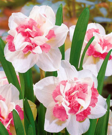 narcisi fiori acquista narcisi a fiore doppio replete bakker
