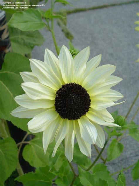 Biji Bunga Sunflower Italian White plantfiles pictures helianthus annual sunflower italian white helianthus annuus by bill casey