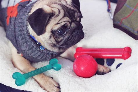 puppy haul rosewood pets haul for pug puppy kitten fashion and lifestyle