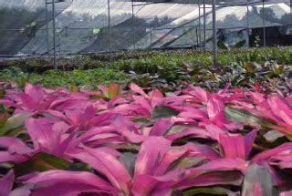 musuh alami predator gambar  nama latin tanaman hias