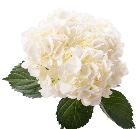 dutch flower auction direct blog hydrangeas back in season