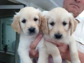 Golden Retriever Puppies For Sale In Pa » Ideas Home Design