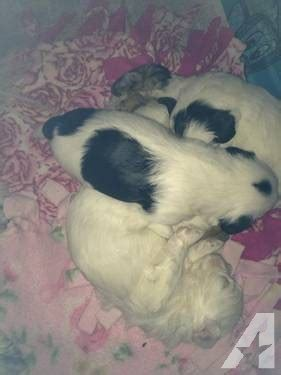 shih tzu puppies for sale derry gorgeous shih mo puppies 2 brothers for sale in derry new hshire classified