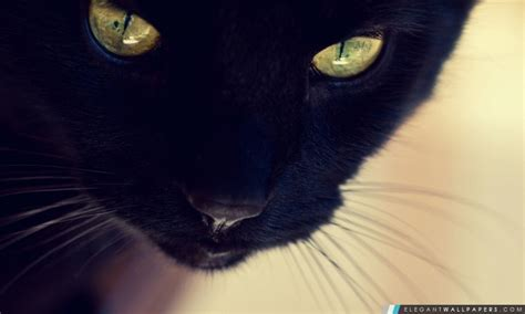 chat noir yeux jaunes fond decran hd  telecharger