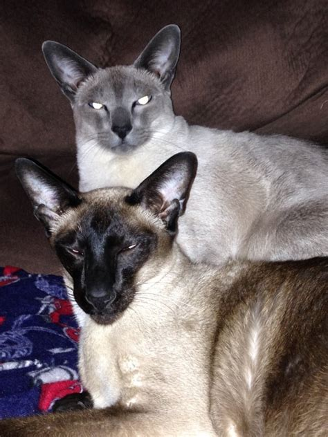 8 Reasons To Get A Siamese Cat by Which Cat Breeds Get Along Well With A Siamese Cat Our