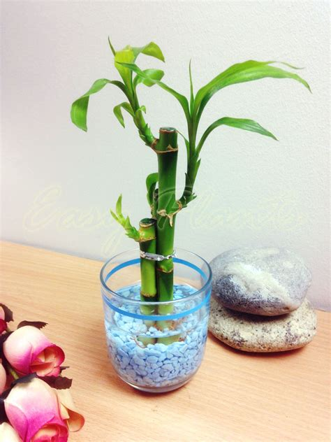 Bamboo In Glass Vase by 1 Pot Of Lucky Bamboo In Colourful Glass Vase House Plant