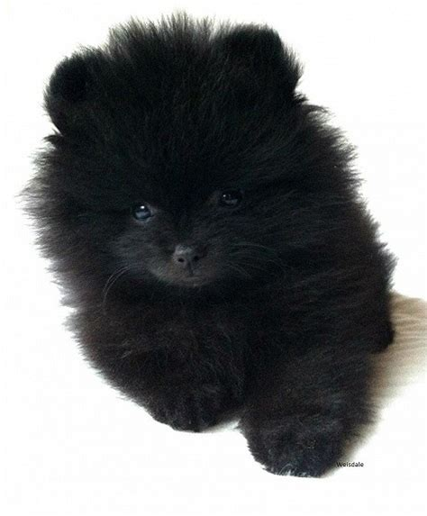 pomeranian puppies wiki file pomeranian puppy jpg wikimedia commons