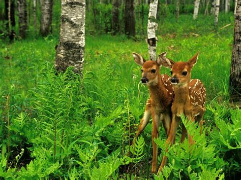 wild animals deer nature forest trees green grass hd