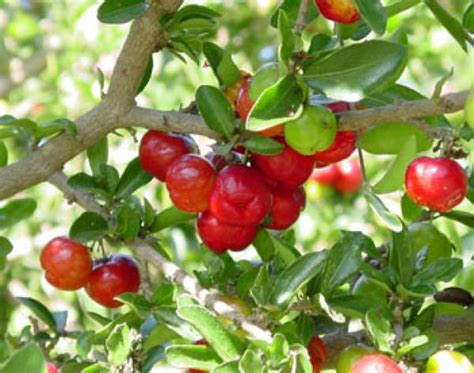 Barbados Cherry how to grow barbados cherry care and growing acerola