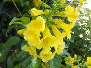yellow trumpet flower shrub shrubs maas nursery part 2