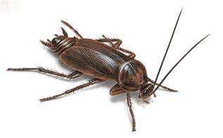cockroach pictures roach photos images