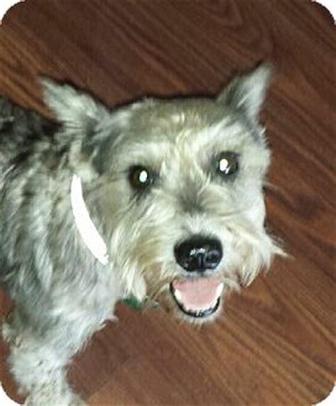 yorkie puppy rescue florida terrier florida rescue miniature schnauzer breeds picture