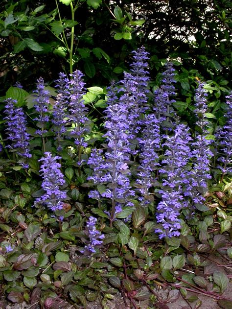 ajuga reptans landscaping plants ground cover pinterest