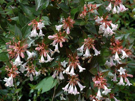 piante da terrazzo abelia abelia x grandiflora giardinaggio mobi