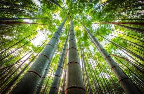 x mas treebamboo trees vertices bamboo viewes plants wallpapers 2500x1644