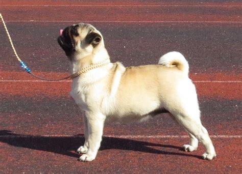 pugs in wisconsin file pug in tallinn jpg wikimedia commons