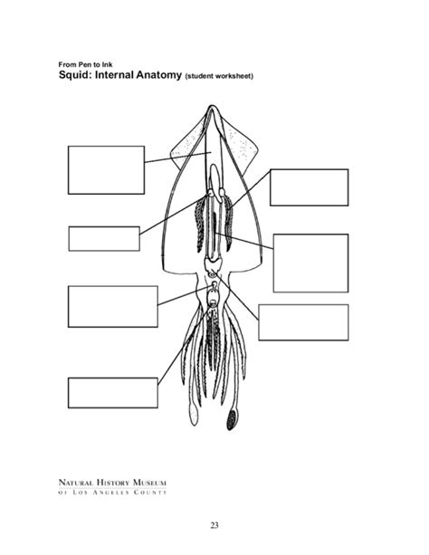 squid dissection lab worksheet squid anatomy worksheet www pixshark images galleries with a bite