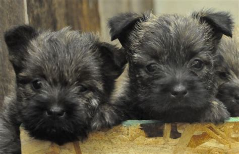 free cairn terrier puppies cairn terrier breed information and images k9rl