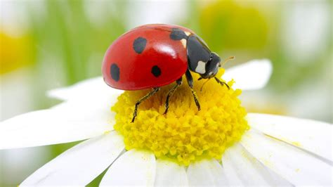 Facts About Daisy Flowers ladybug