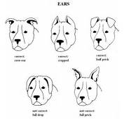 Pitbull Ear Cropping Styles Chart  Car