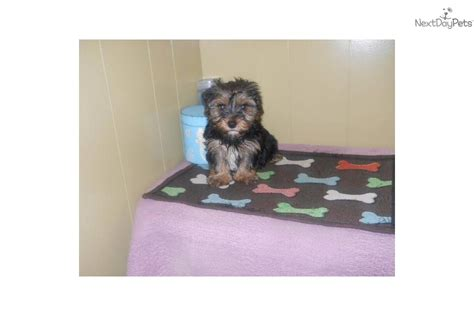 yorkie puppies nj meet spunky a terrier yorkie puppy for sale for 833 yorkie nj tri