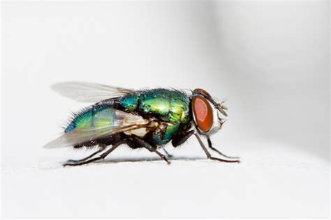 blow flies in house blow fly control get rid of blow flies in ct ma me nh vt