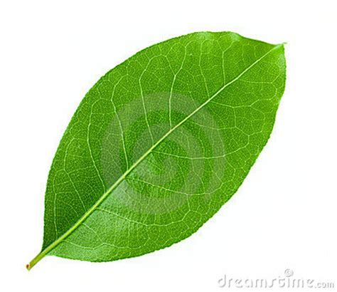 laurel leaf template laurel leaf template