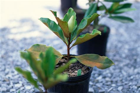 growing magnolias made easy new zealand handyman magazine