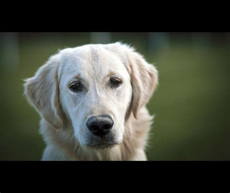 are golden retrievers family dogs golden retriever great family golden retriever