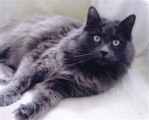 17 Best images about Nebelung cats on Pinterest   Mephisto