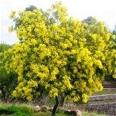 mimosa pianta in vaso la mimosa acacia dealbata acacia dealbata piante da