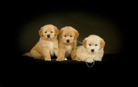 golden retriever puppies in alabama miniature golden retriever puppies for sale in alabama dogs our friends photo