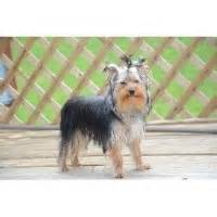 yorkie rescue knoxville tn terrier breeders in tennessee freedoglistings