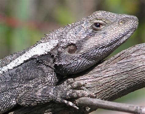 lizard visual displays order matters wired